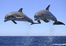 dolphin speech