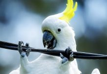 cockatoos internet